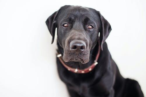 Cute black Labrador Retriever with brown collar