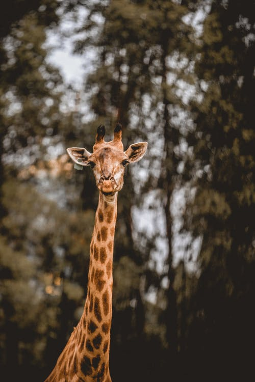 Upper body part of cute wild giraffe standing against tall lush trees and looking at camera