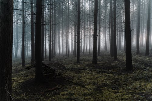 Leafless trees growing in misty forest