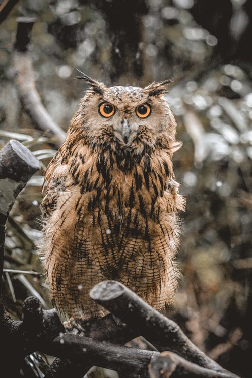 Attentive eagle owl sitting on tree branch