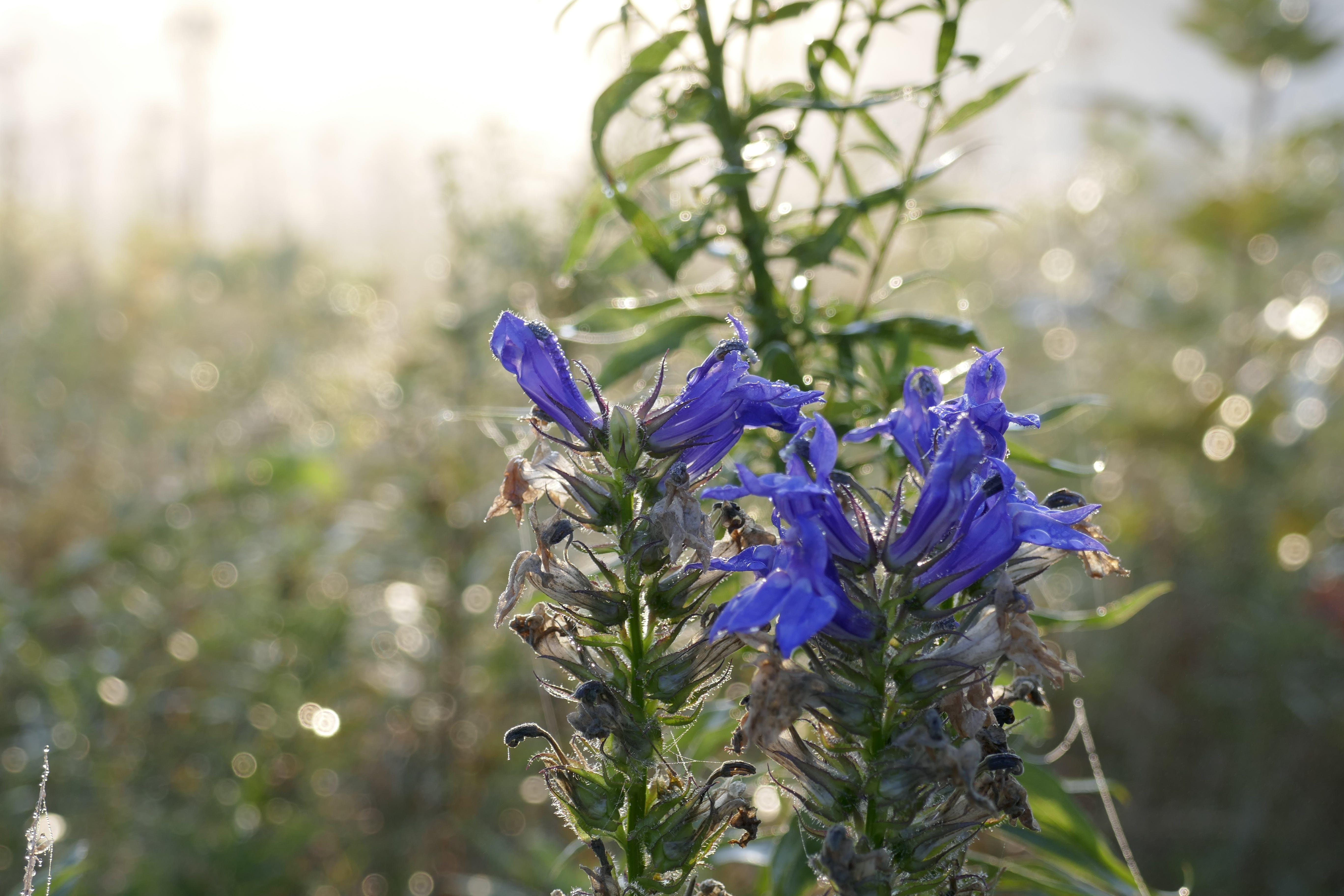 Kostenloses Stock Foto zu indigo, lflower, lila, nebel