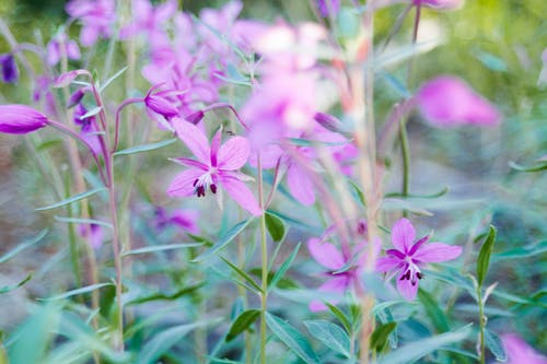 Delicate pink flowers of great willowherb plant with green leaves and thin stems growing in meadow on sunny day