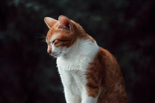 Orange and White Cat in Tilt Shift Lens