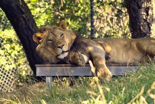동물원, 사자, 야생의 무료 스톡 사진