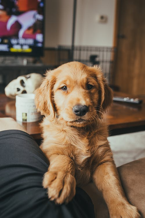 Golden Retriever Puppy on Persons Lap