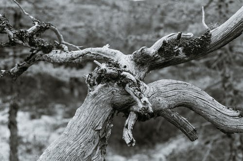 Dried tree trunk with curvy branches