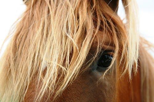 Ilmainen kuvapankkikuva tunnisteilla eläin, harja, hevonen, lähikuva