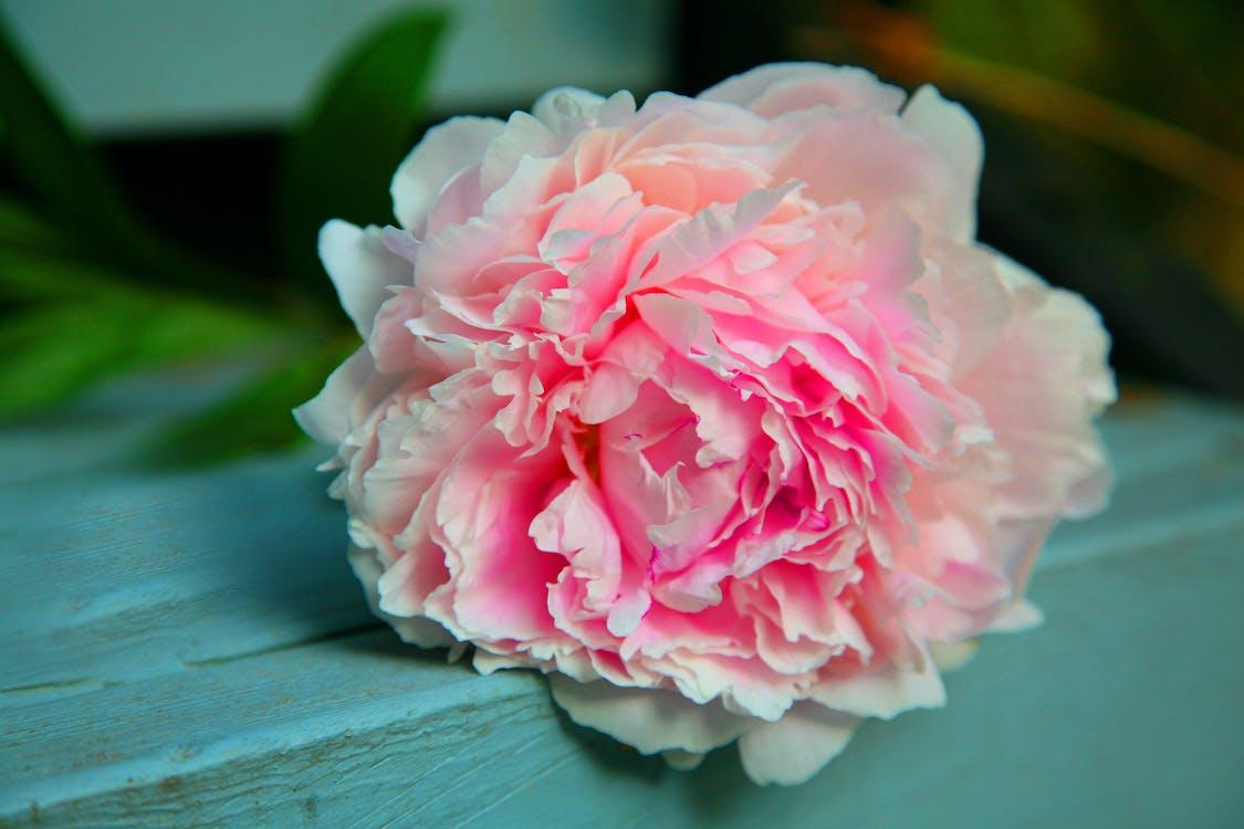 anotimp, bujor, floare