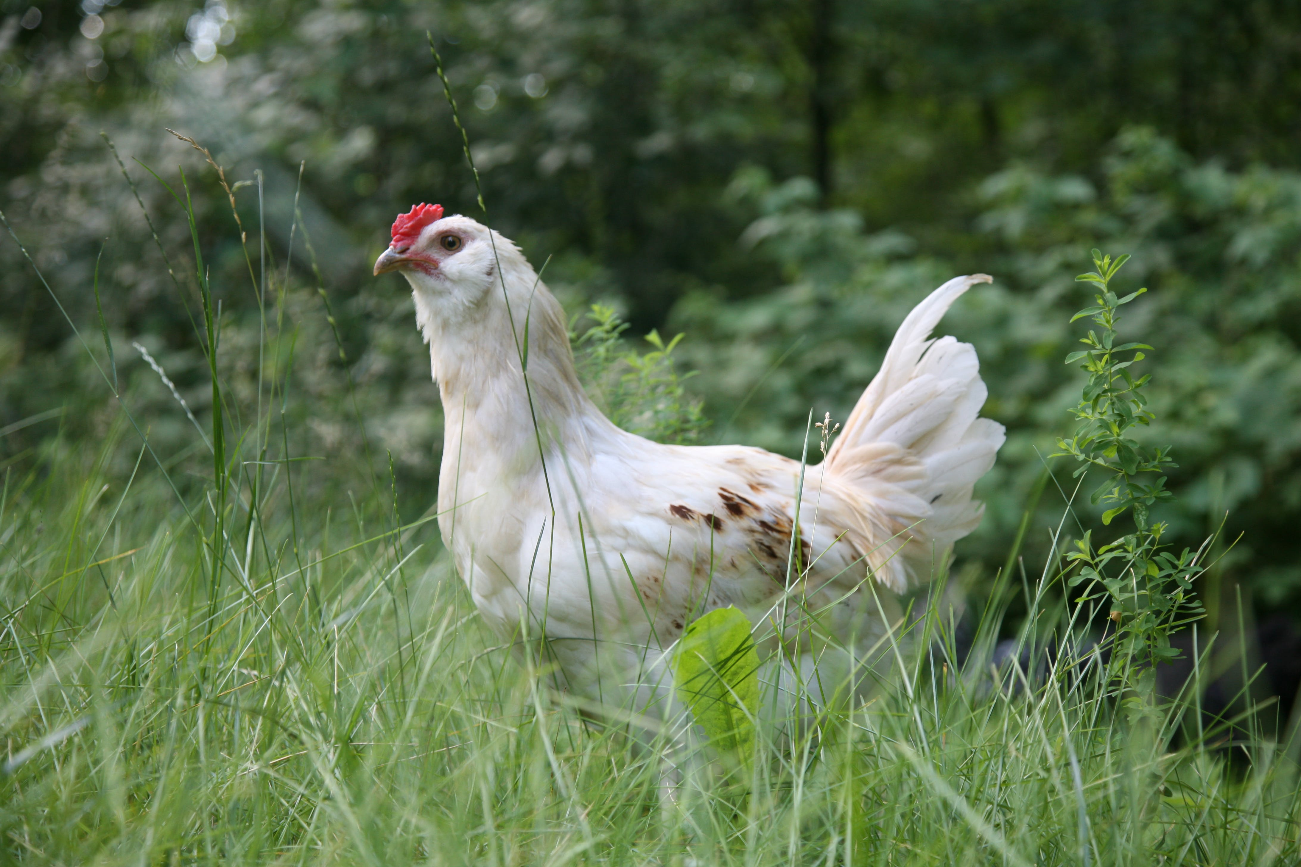 White Chicken on Green Grass Field