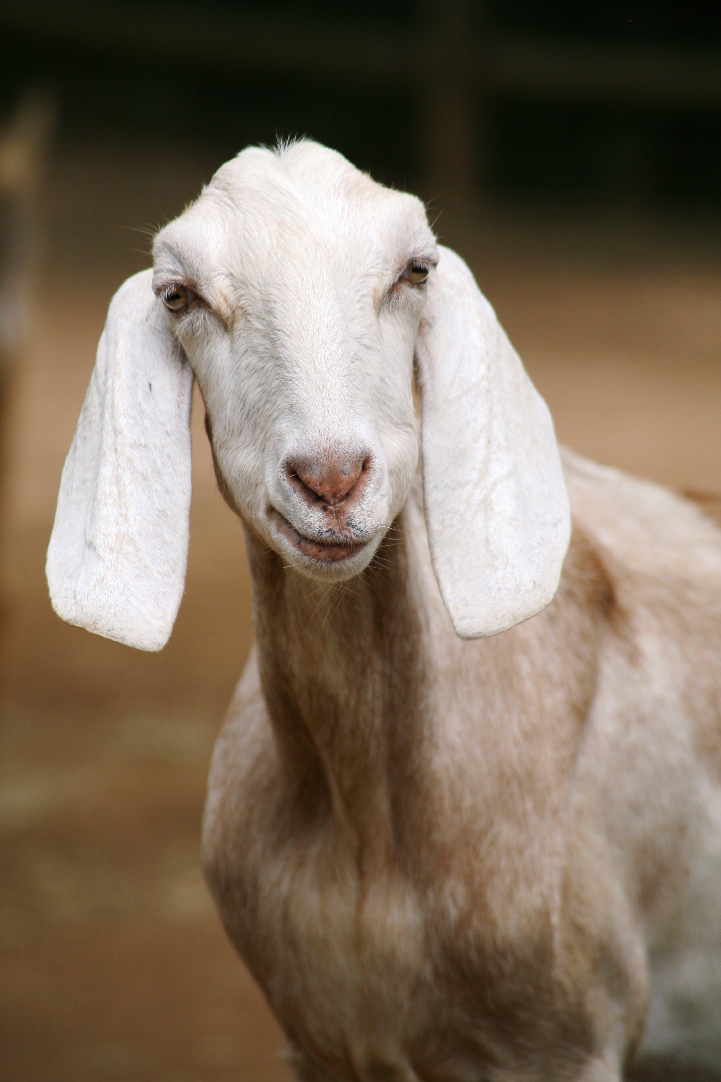 Selective Photo of White Goat