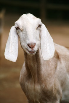 Free stock photo of animal, mammal, domestic animal, goat