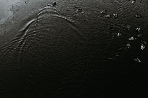 Wild ducks swimming on rippling water of pond