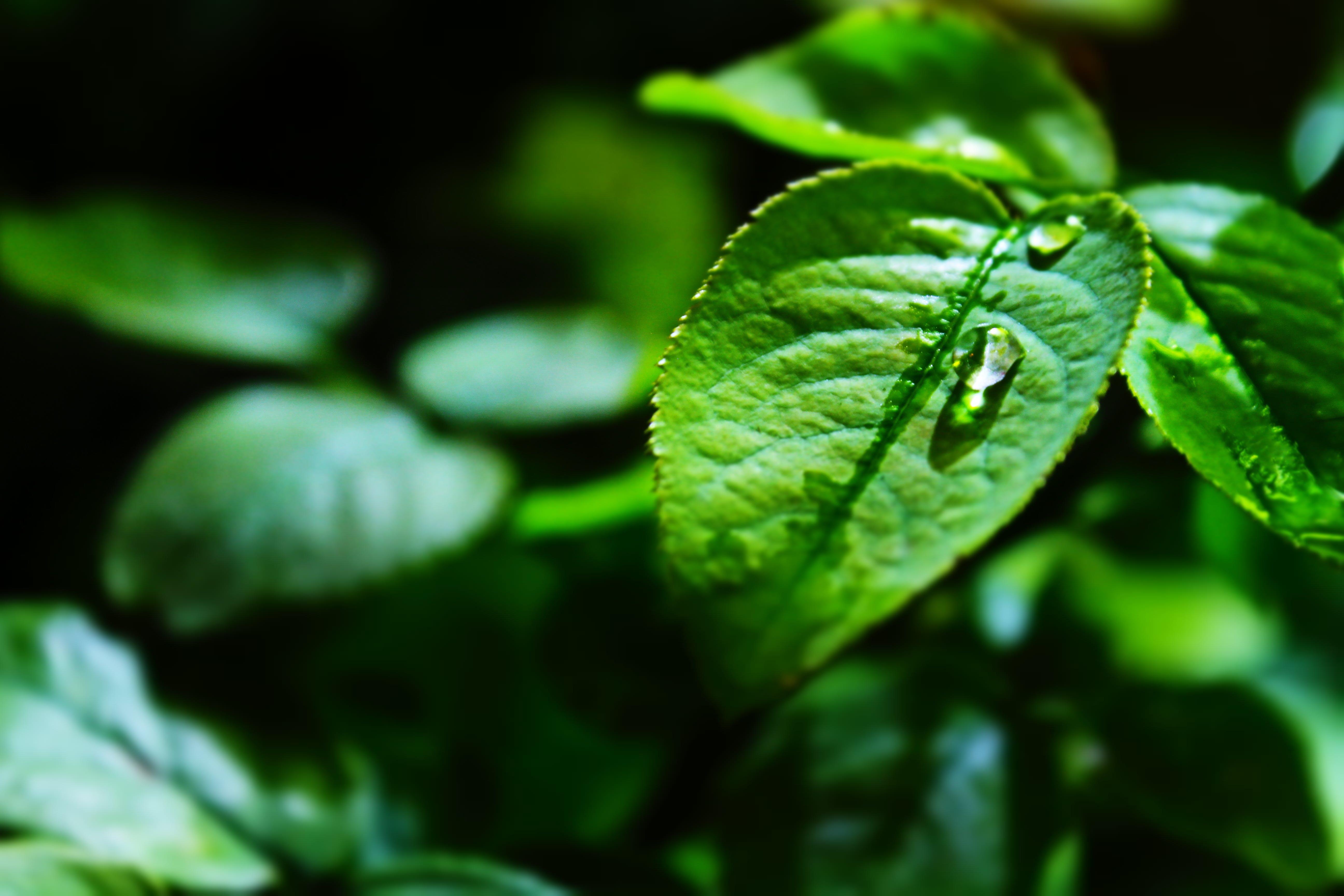 Green Leaf on Shallow Focus Lens