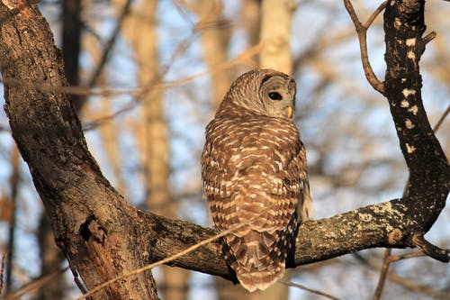Free stock photo of #nature, barred owl, outdoors
