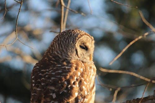 Free stock photo of #photographyinnature, barred owl, outdoors