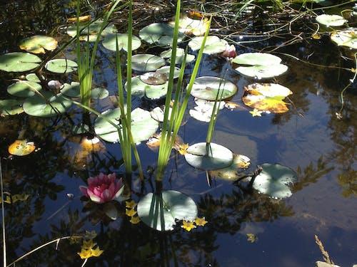 Free stock photo of lily pad, pond