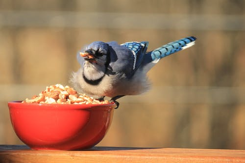Free stock photo of autumn, birds, blue jay