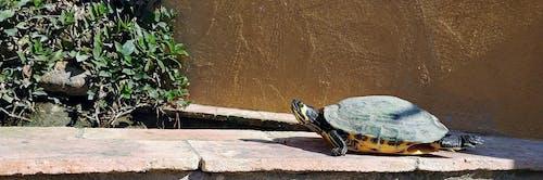 Fotos de stock gratuitas de tortuga