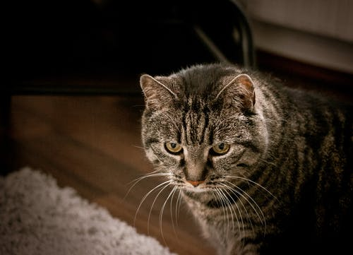 High angle of attentive adorable European Shorthair cat standing on parquet floor at home and looking away