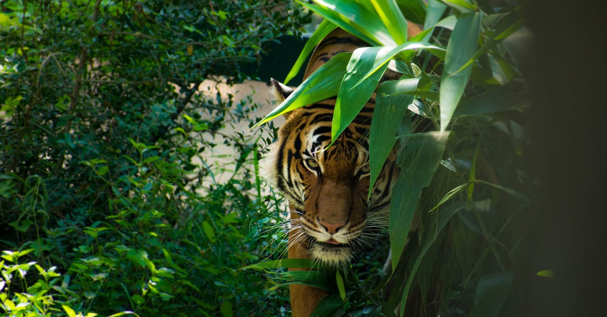 край картинки тигр в джунгли порода крупная