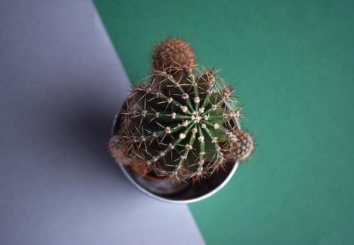 Free stock photo of plant, pot, cactus, decorative