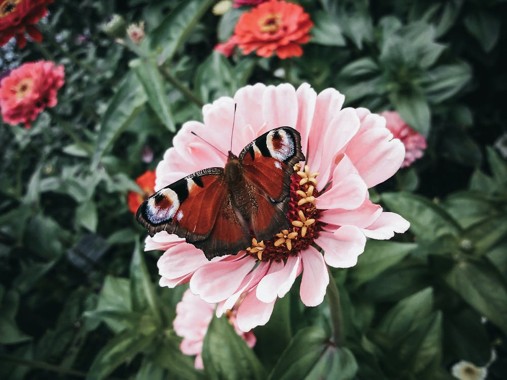 From above of graceful peacock butterfly pollinating pink Gerbera flower growing in green garden