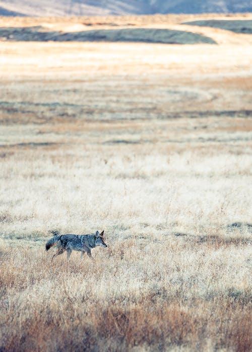 Wolf running in endless field in daytime