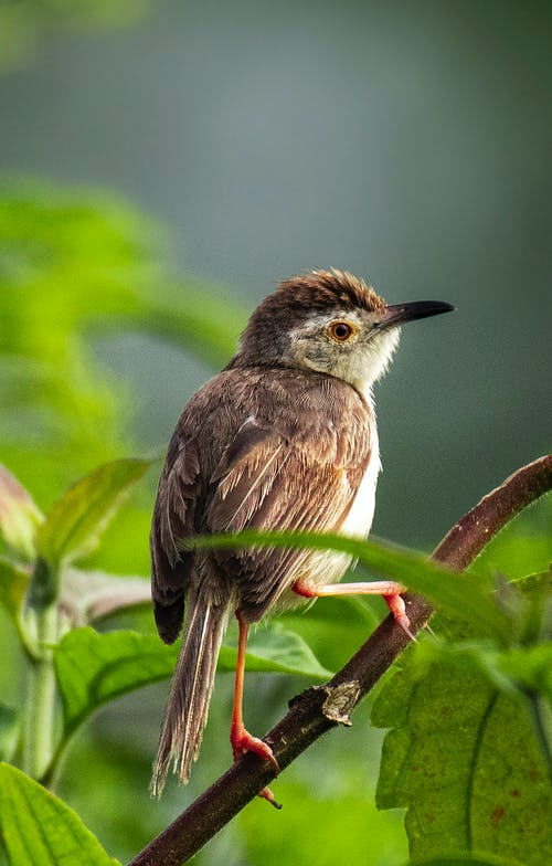Wild common stonechat bird with brown plumage perching on branch among green leaves