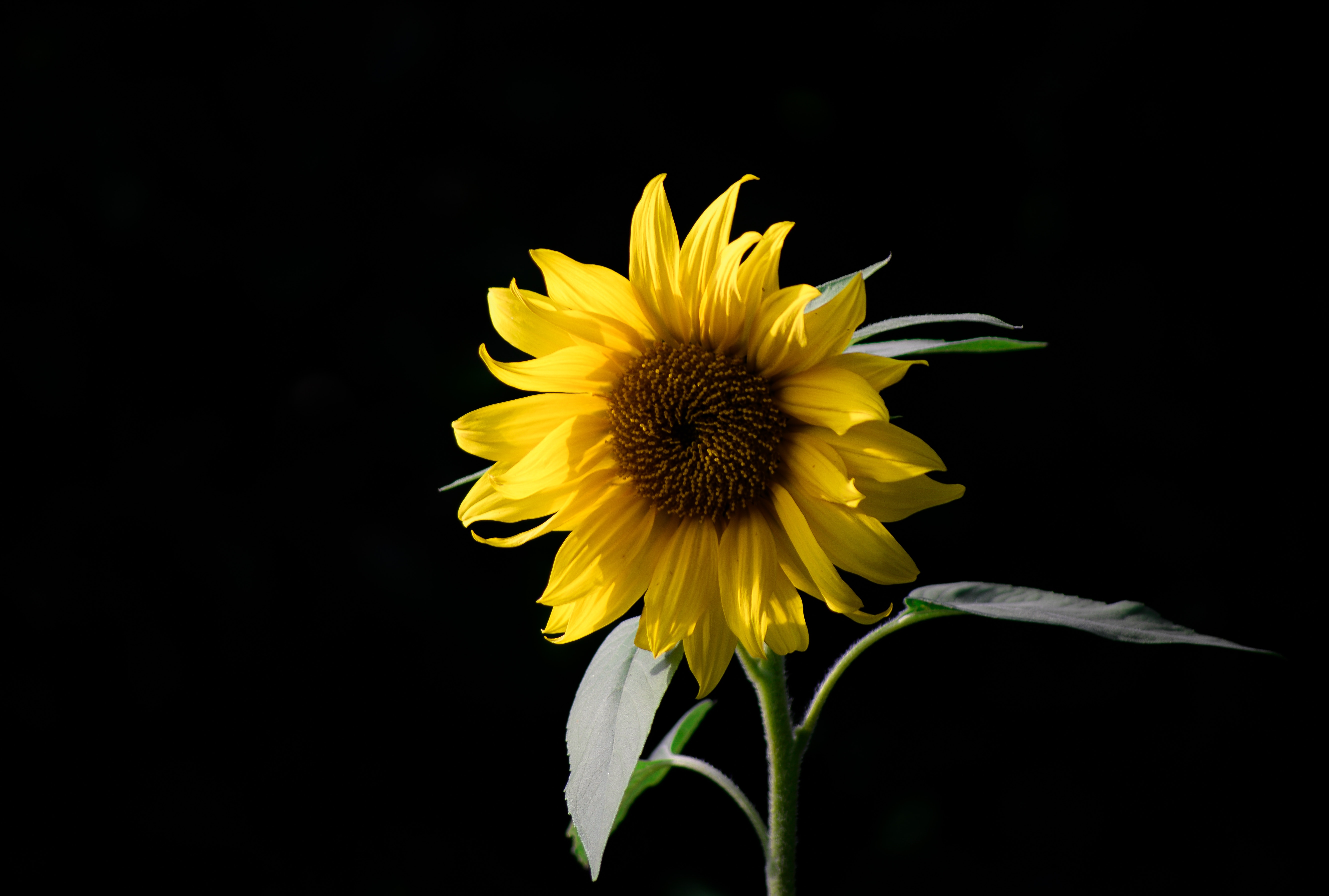 Our Pictures Of Sunflowers Without Registration All Are High Quality And Can Be Used For Your Website Blog Or Article