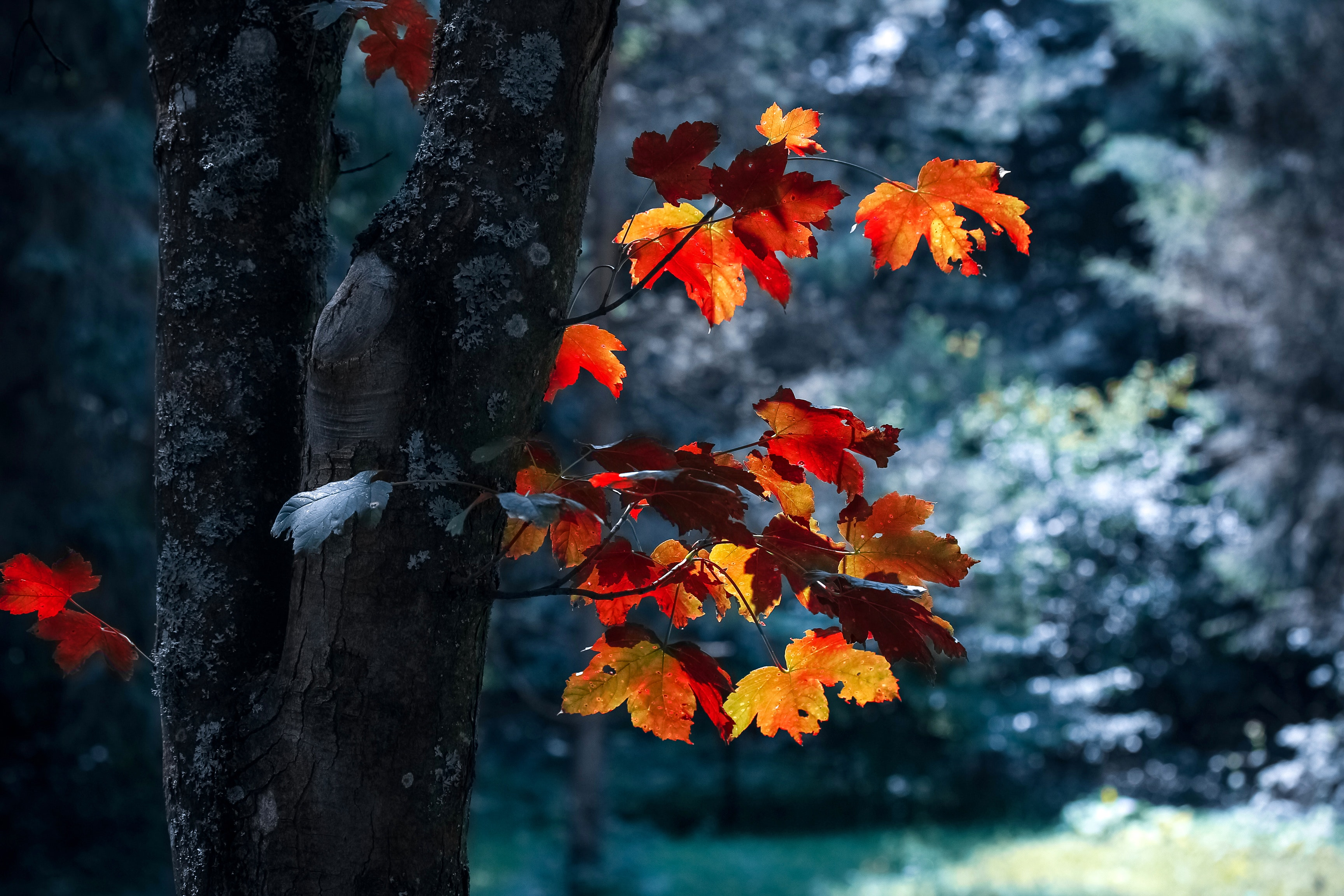 Tree With Maple Leaves Free Stock Photo