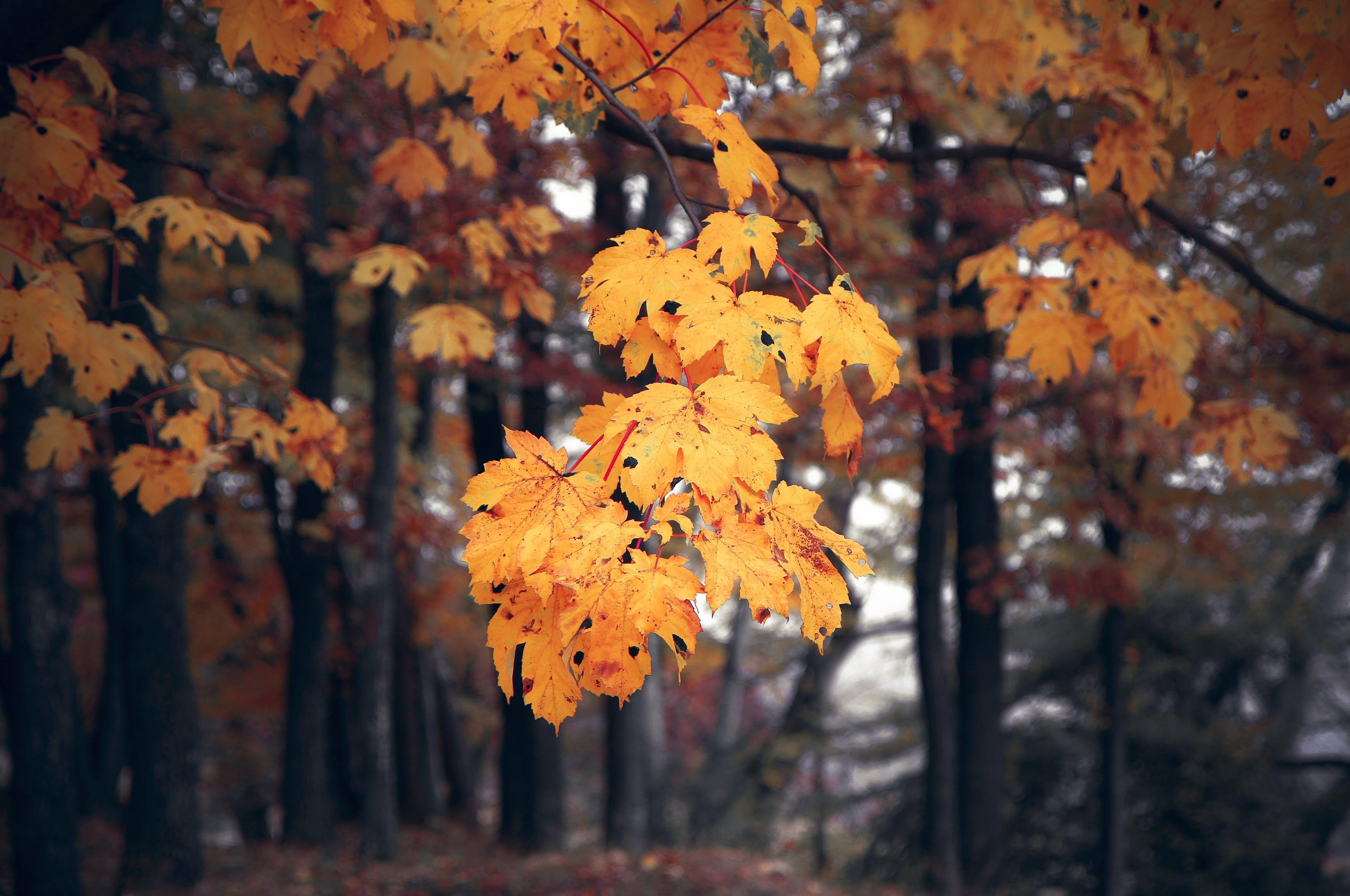 Gratis lagerfoto af ahornblade, close-up, dybde, farverig