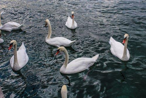 beyaz, isviçre, kuğu, Portakal içeren Ücretsiz stok fotoğraf