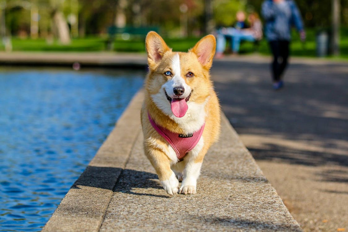 Adult Brown and White Pembroke Welsh Corgi Near the Body of Water