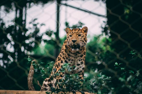 Brown and Black Leopard on Green Grass