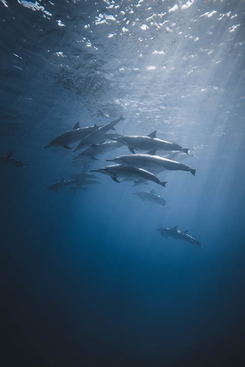 Flock of dolphins swimming in deep sea