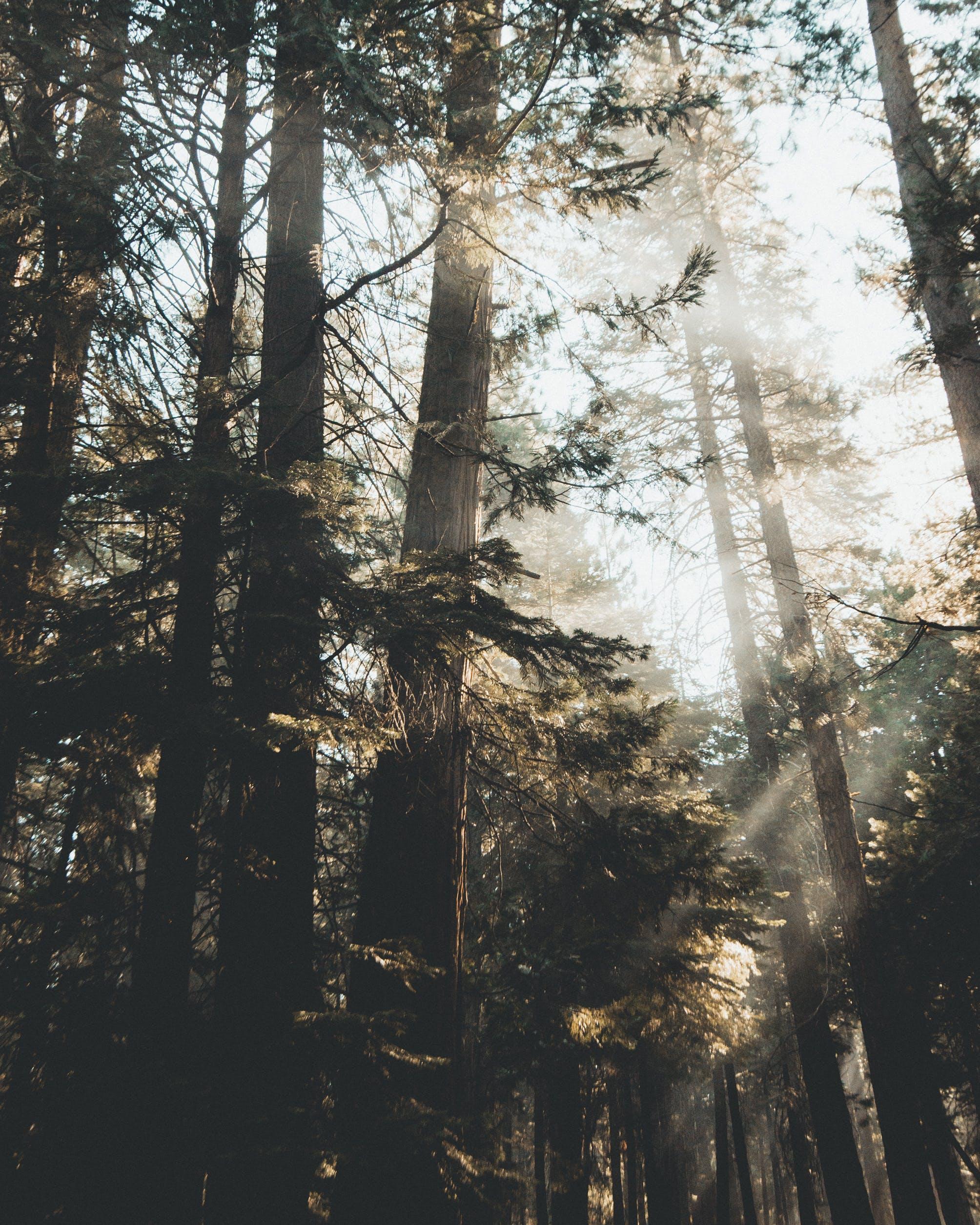 Pine Tree and Sun Light