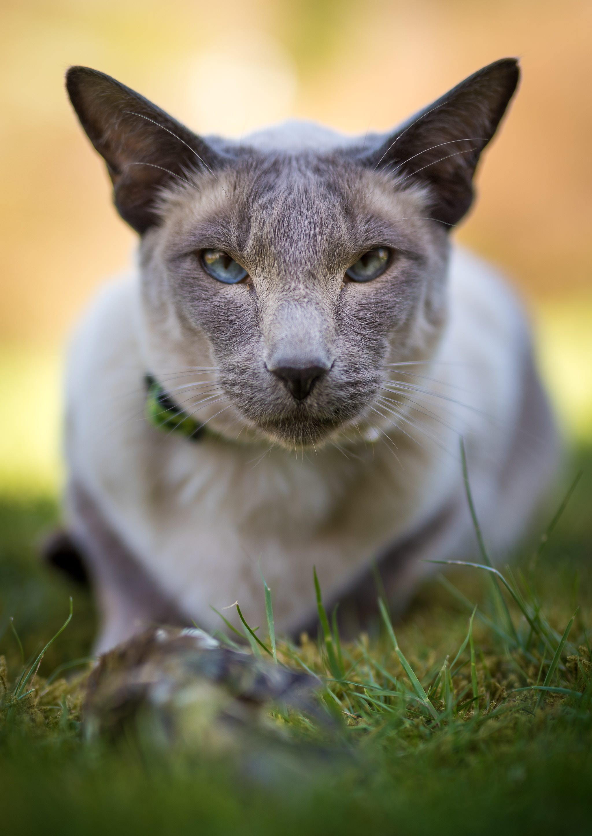 fccd4d08f80f2b Selective Focus Photography of Gray Cat · Free Stock Photo