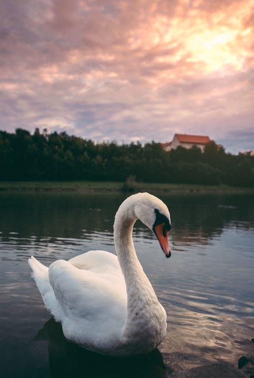 Gratis stockfoto met hemel, witte Zwaan, zonsondergang
