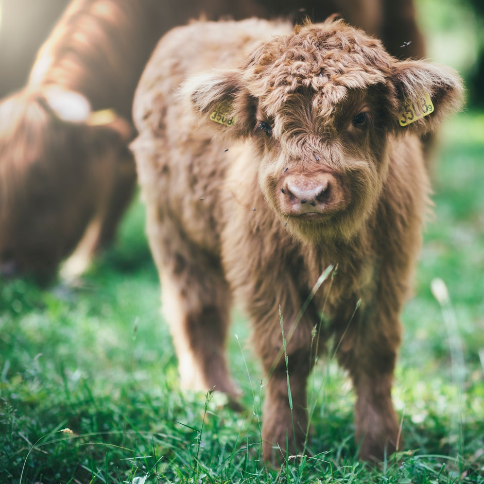 animal, calf, close-up