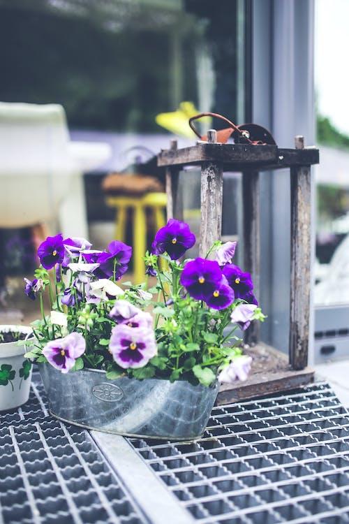 Бесплатное стоковое фото с pasies, горшок, двор, декор