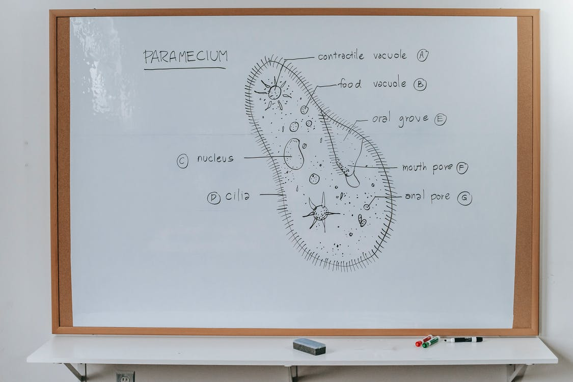 Structure of Infusoria organism drawn on whiteboard with markers in classroom of school