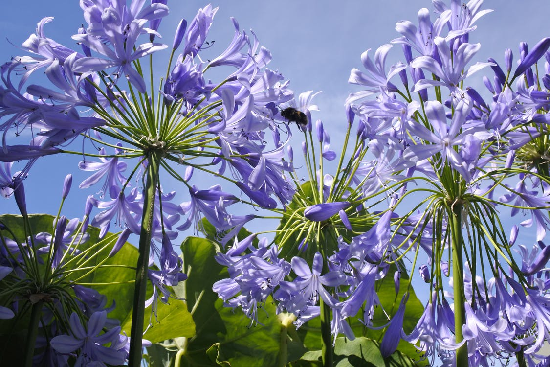 Free stock photo of agapanthus, bumble bee