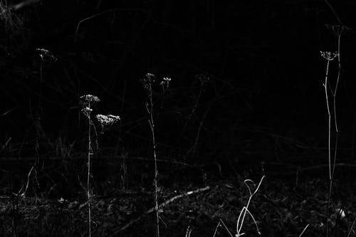 Black and white of blossoming flowers on thin stalks growing in field in daytime