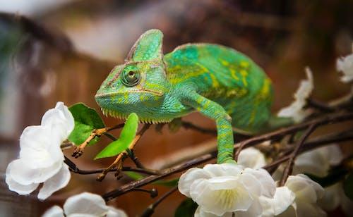 Photos gratuites de animal, caméléon, camouflage