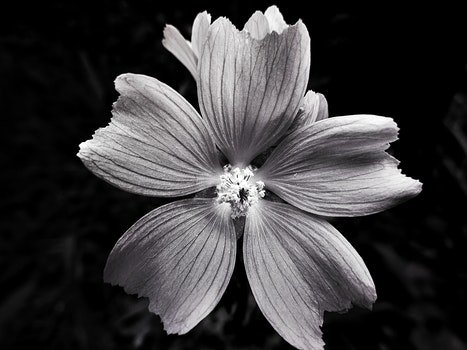 Free stock photo of black-and-white, nature, petals, blur