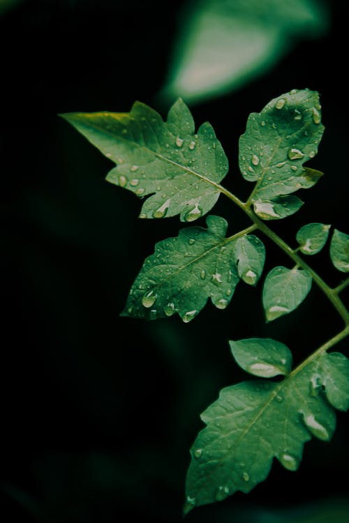Green plant sprig with thin stems and pure water drops on curved foliage on black background