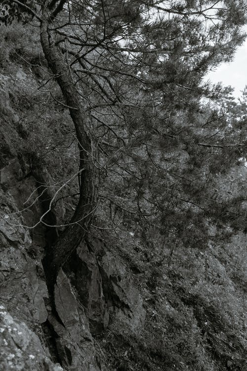 Black and white of tall tree with coniferous branches growing on stone steep slope of mountain covered with grass in nature