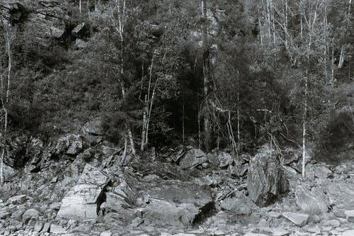 Black and white of trees with thin trunks growing on dry land in woods in daylight