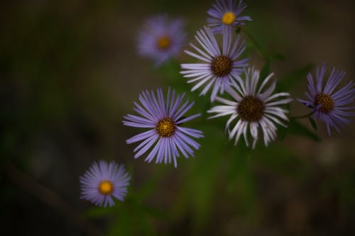 Gentle Symphyotrichum oblongifolium flowers growing on meadow