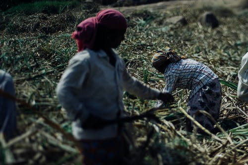 Faceless hard working ethnic people in dirty wear and protective headscarves using scythes while collecting sugar cane plants on plantation on hot sunny day